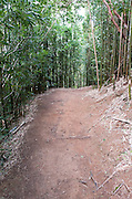 A vertical image of the Manoa Cliff Trail going through a bamboo forest.