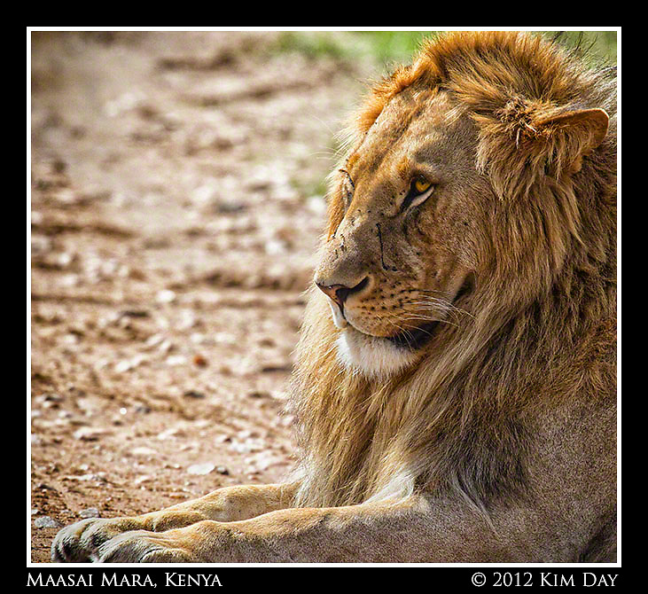 The Lion's Stare.Maasai Mara, Kenya.September 2012