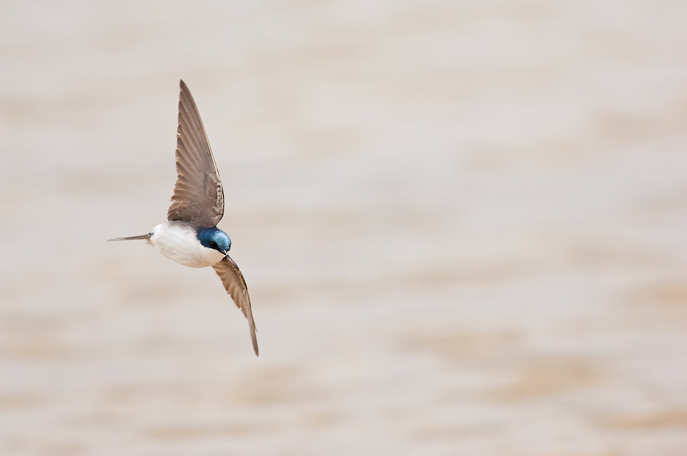 Tree Swallow, Tachycineta bicolor, male, Iosco County, Michigan