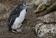 Rockhopper penguins chick hatch covered in fuzzy black and white down. Rockhopper penguins chick loose there fuzzy down and develop waterproof feathers.
