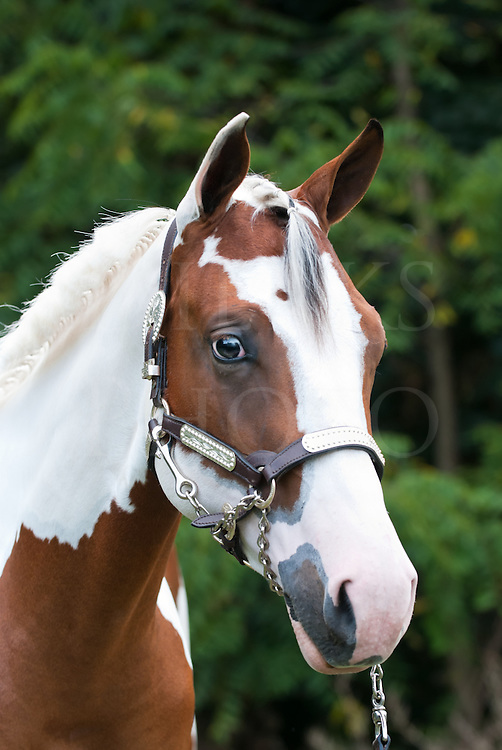 Stock photo head shot of a beautiful yearling paint horse, cleaned up for a horse show event.