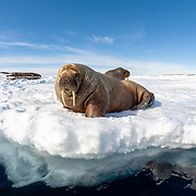 A pair of Atlantic walruses (Odobenus rosmarus rosmarus) hauled out on ice during the Arctic summer