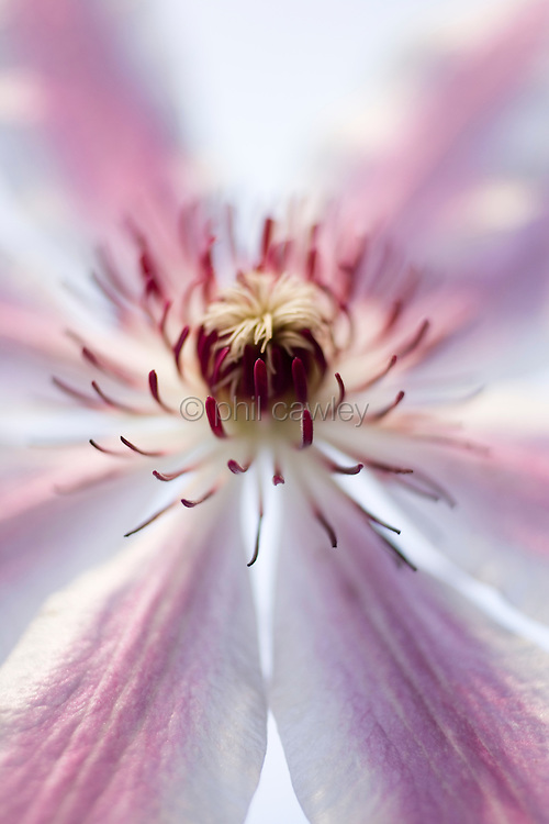 close up of clematis Clematis Lincoln star flower