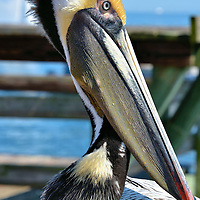 Brown Pelican on The Pier in St. Petersburg, Florida<br />