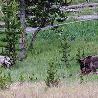 "Face Off! Apex predators take a moment to dine ""together"", each keeping a wary eye on each other! Yellowstone National Park, Wyoming."
