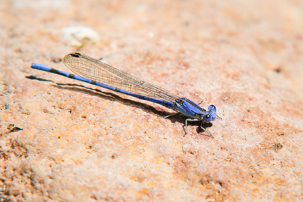 "This beautifully blue male Sierra Madre dancer (Argia lacrimans) was found and photographed on a rock sticking out of Sonoita Creek in Patagonia, Arizona on a mild spring morning. Like all damselflies in the dancer family (named so because of their jerky, erratic and highly active movements during flight) males tend to be extremely colorful while the females tend to be drab in color. Unlike other damselflies, dancers tend to catch their prey ""on the fly"" rather than catching prey on the ground, and this probably explains why they fly in such an erratic manner."