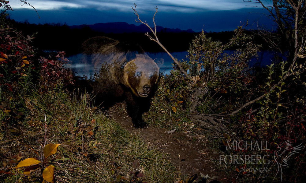 At twilight a grizzly sow moves along a game trail connecting wetland and prairie.  TNC Pine Butte Swamp Preserve, Montana.
