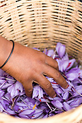 TALIOUINE, MOROCCO - October 27th 2015 - Farmer harvests saffron flowers at saffron farm in Taliouine, Sirwa Mountain Range, Souss Massa Draa region of Southern Morocco