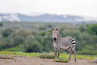 Cape Mountain Zebra stallion in the fynbos, De Hoop Nature Reserve and marine protected area, Western Cape, South Africa