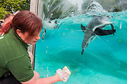 Penguins enjoy playing with the window cleaner after theweigh in - The annual weigh-in records animals' vital statistics at ZSL London Zoo. London, 24 August 2017