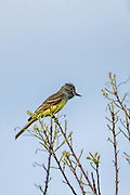 Great-crested flycatcher sitting on a branch looking for food
