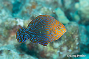 adult male shortnose wrasse, Geoffroy's wrasse, Potter's wrasse, or Hinalea aki-lolo, Macropharyngodon geoffroy, male, endemic to Hawaiian Islands and Johnston Island, Kohanaiki, Kona, Hawaii ( Big Island ), Hawaiian Islands ( Central Pacific Ocean )