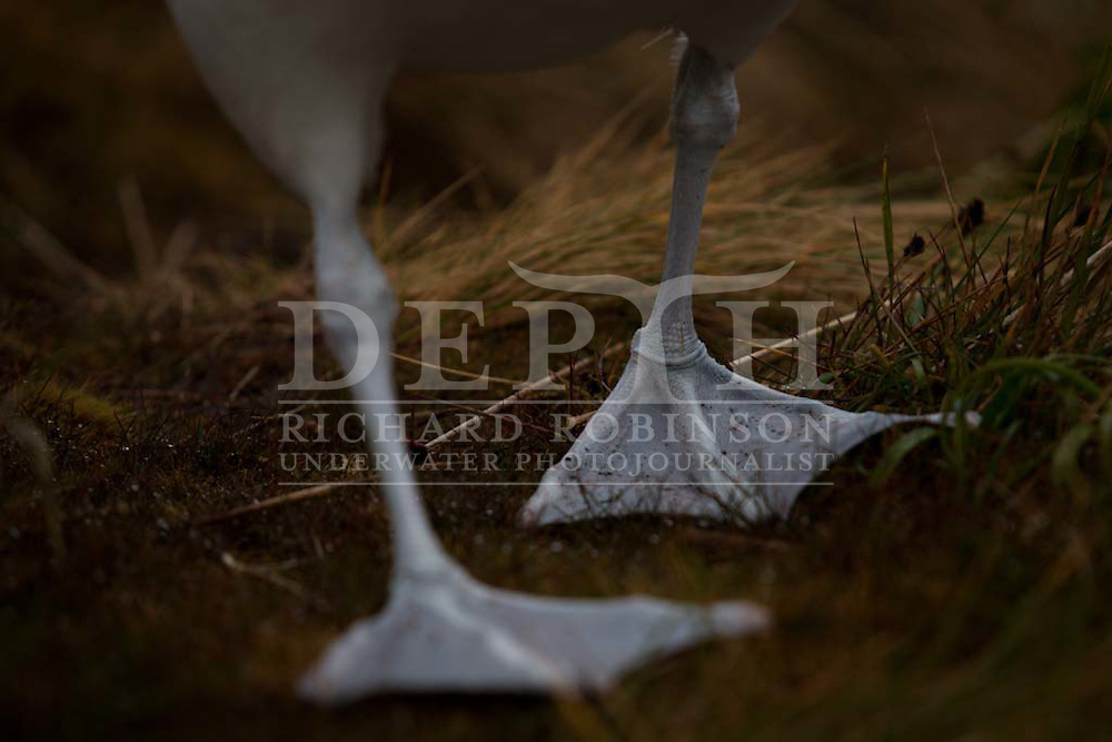 Southern royal albatross (Diomedea epomophora) on the subantarctic Campbell Island (Motu Ihupuku) in the Southern Ocean..Friday 07 January 2011..Photograph Richard Robinson © 2011.