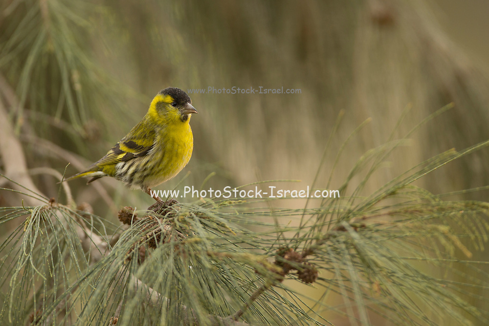 Male Eurasian siskin (Carduelis spinus). The siskin is a type of finch. It breeds in northern Europe, parts of Russia and eastern Asia, and migrates south in the winter. It favours coniferous woodland. The siskin is approximately 12 centimetres in length. Photographed in Israel in February