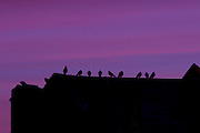 UNITED KINGDOM, London: 13 Jan 2016 The silhouettes of pigeons stand on a roof are cast in front of a purply sky during sunrise this morning. Rick Findler / Story Picture Agency