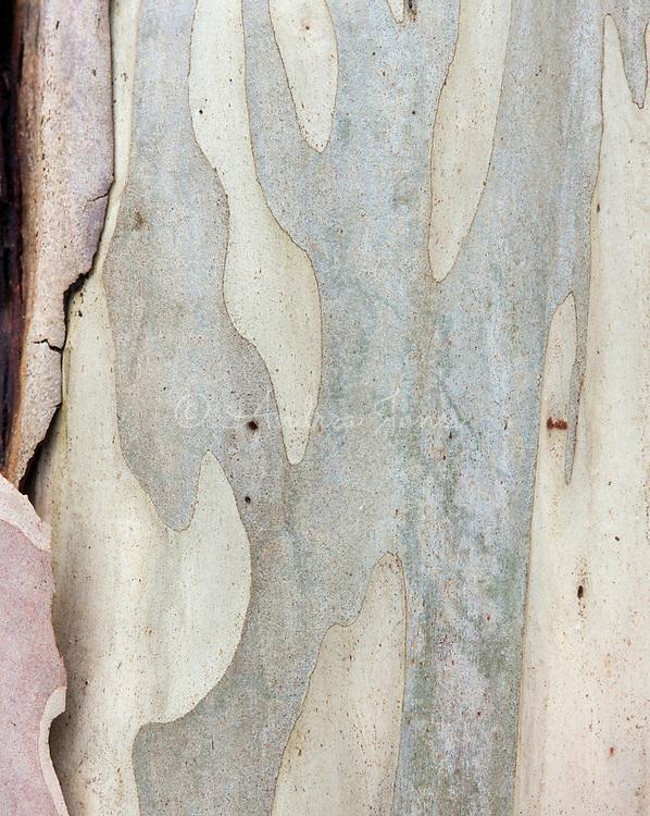 Eucalyptus pauciflora (flooded gum)