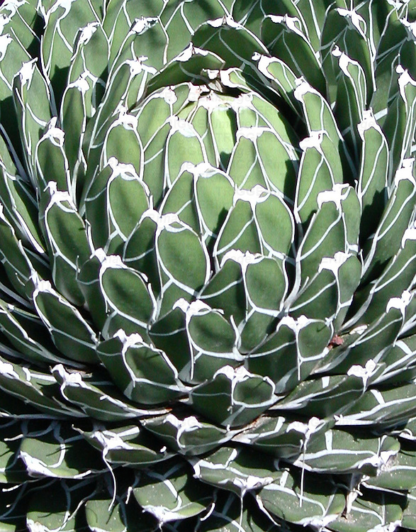 A close-up of the delicately edged Queen Victoria Agave.