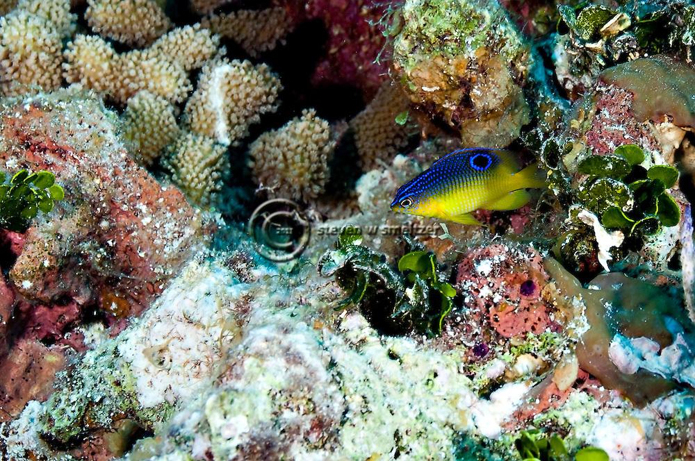 Cocoa Damselfish Juvenile, Stegastes variabillis, Grand Cayman