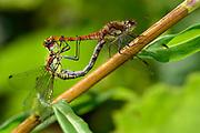 Common Darter (Sympetrum striolatum) | Große Heidelibelle (Sympetrum striolatum) im Paarungsrad