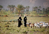 Yemen, Hadramaut region, women grazing sheep in a field. Women in the hot Hadramout region wear this conical hat. It supposedly allows the heat to travel upwards, thereby keeping the head cool.
