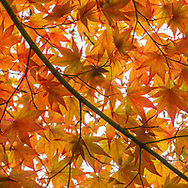 Maple on Peeper Pond