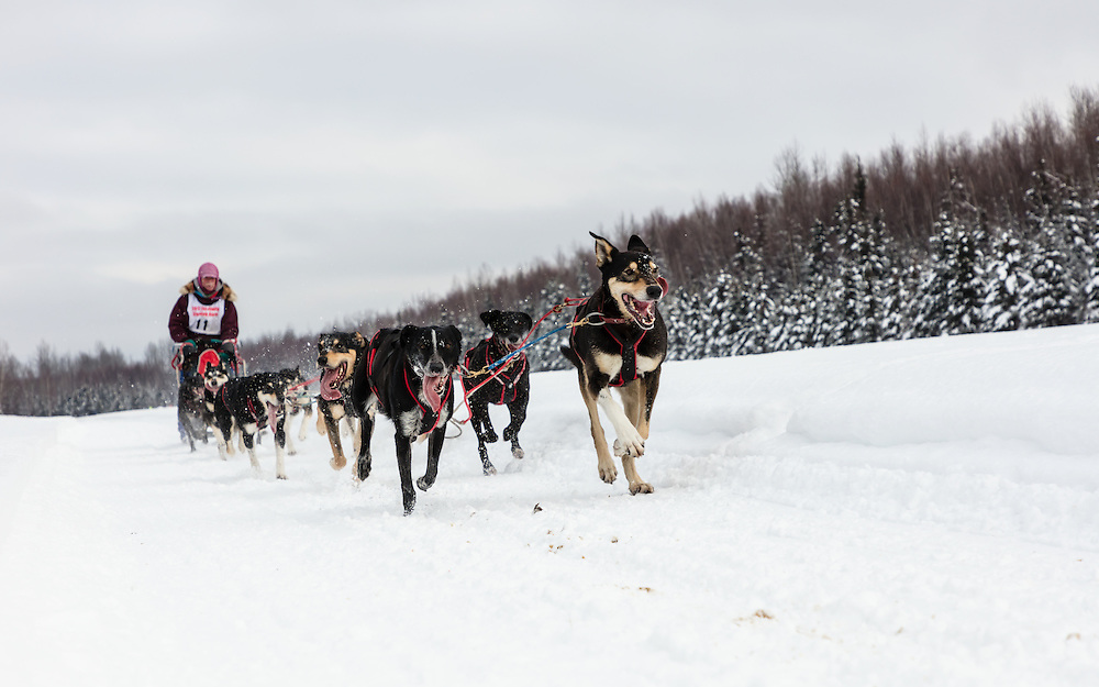 Musher Don Cousins competing in the Fur Rendezvous World Sled Dog Championships at Campbell Airstrip in Anchorage in Southcentral Alaska. Winter. Afternoon.