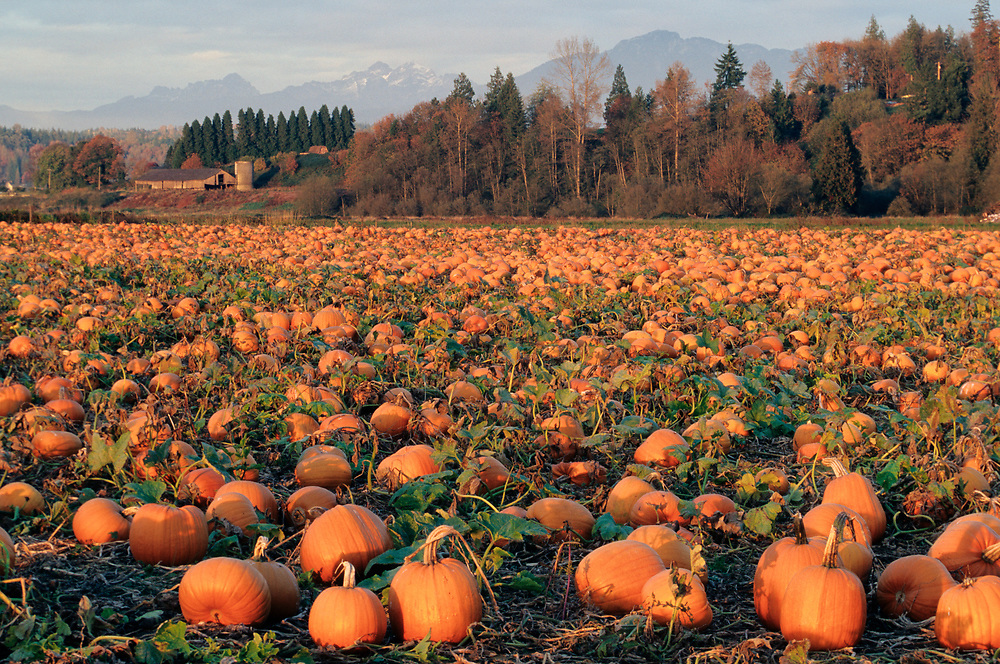North America, USA, Washington, Snohomish. Pumpkin patch