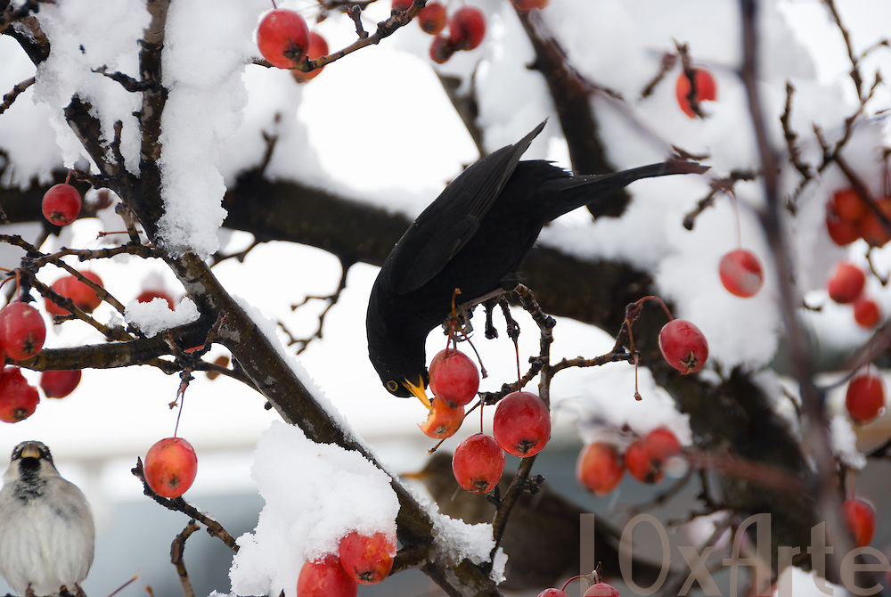 A blackbird (Turdus merula) and sparrow eating red berries on a bare tree covered in snow in the middle of winter.