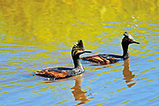 Eared grebes in pond (Podiceps nigricollis)<br /> Somerset<br />