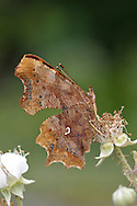 Comma Polygonia c-album Wingspan 45mm. Unmistakable butterfly with ragged-edged wing margins. Adult has orange-brown upperwings marked with dark spots; grey-brown underwings show a white 'comma' mark. Double-brooded and hibernates: seen on the wing March–April, and again August-October. Larva has tufts of spiny hairs and is orange-brown with a white dorsal band; feeds on Common Nettle, elms and Hop. Locally fairly common in England and Wales.