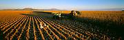 MEXICO, AGRICULTURE Mennonite family harvesting corn, progressive farming and religious community near Cuauhtemoc, Chihuahua
