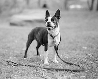 Boston Terrier Bebe in Central Park