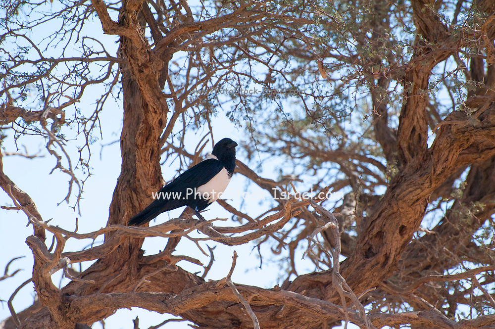 Pied crow (Corvus albus). Crows are omnivorous birds. This crow is found in open country with scattered trees, where it feeds on insects, eggs, young birds, seeds and other plant matter. It is also found around populated areas where it will feed on scraps of human food. It will flock to feed, roost and mob birds of prey. The pied crow is found in Africa south of the Sahara. Photographed in the Sossusvlei sand dunes in the Namib desert Namibia Africa in July