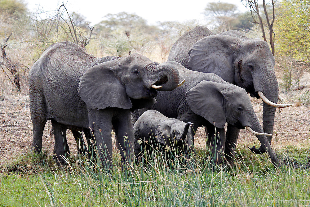 Africa, Kenya, Meru. Elephants and baby at watering hole.