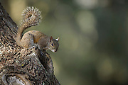 Eastern Gray Squirrel, or grey squirrel (Sciurus carolinensis)<br /> Little St Simon's Island, Barrier Islands, Georgia<br /> USA<br /> RANGE: Native to the eastern and midwestern United States, and to the southerly portions of the eastern provinces of Canada.