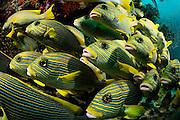 Schooling Yellow-ribbon sweetlips (Plectorhinchus polytaenia) Raja Ampat, West Papua, Indonesia, Pacific Ocean | Goldband-Süßlippe (Plectorhinchus polytaenia) Raja Ampat, West Papua, Indonesien, Pazifischer Ozean