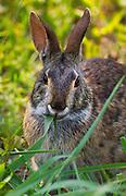 Eastern Cottontail Rabbit eating grass. <br /> -South Carolina U.S.A