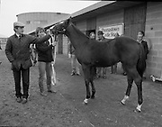 Shergar Foal Sale.1983.20.11.1983.11.20.1983.20th November 1983..An,as yet,un-named foal  sired by the famous Shergar was on view for the first time today. The viewing was prior to the auction to be held at Goffs Sales,Kildare..Image of Mr Tommy Stack,Manager of Thomastown Stud,and Ms Yvonne Morrissey,stable girl, as they bid fare well to the colt as he leaves for the auction rooms.