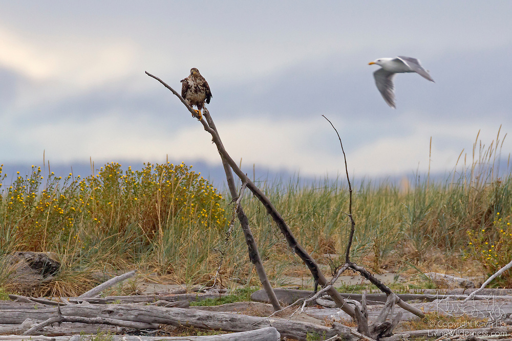A juvenile bald eagle (Haliaeetus leucocephalus) rests on driftwood on Protection Island National Wildlife Refuge in Jefferson County, Washington as a glaucous gull flies by. Protection Island, located at the mouth of Discovery Bay in the Strait of Juan de Fuca, is a 364-acre island mainly covered with grass and low brush. The island, which also has high sandy bluffs, serves as a nesting ground for 72 percent of the seabirds that nest in the Puget Sound area. Bald eagles prey on those seabirds and their young.