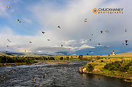 Cliff swallows fly over the Yellowstone River near Springdale, Montana, USA