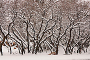 Fresh snow covers tree branches in Salt Lake City, Utah