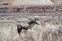 Mustang (Equus caballus), Sand Wash Basin, Colorado, USA   Photo: Peter Llewellyn