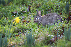© Licensed to London News Pictures. 31/12/2015. London, UK. A rabbit feeds near a daffodil in Bushy Park. Photo credit: Peter Macdiarmid/LNP