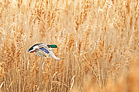 A cloudy stormy day in a northern Utah marsh as a Mallard takes flight.