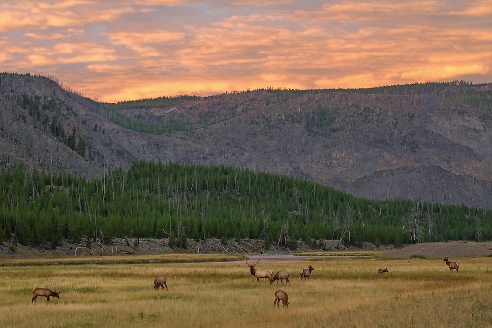 As late summer approaches, elk begin to gather along Yellowstone's Madison River for the annual rut. During this time, dominant bulls will herd cows into harems and aggressively protect them from any competitors hoping steal them away.