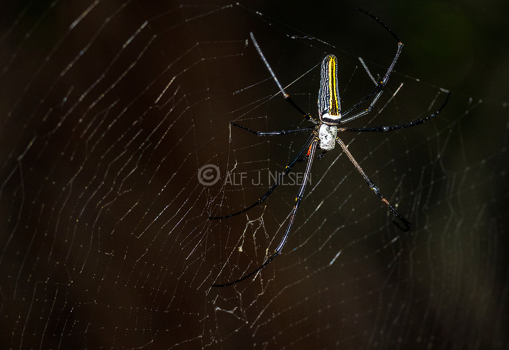 Female of the giant golden orb weaver (Nephila pilipes flavornata) from Tangkoko National Park, Sulawesi, Indonesia.