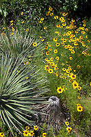 Coreopsis (Coreopsis wrightii) and Yucca, Gillespie County, Texas