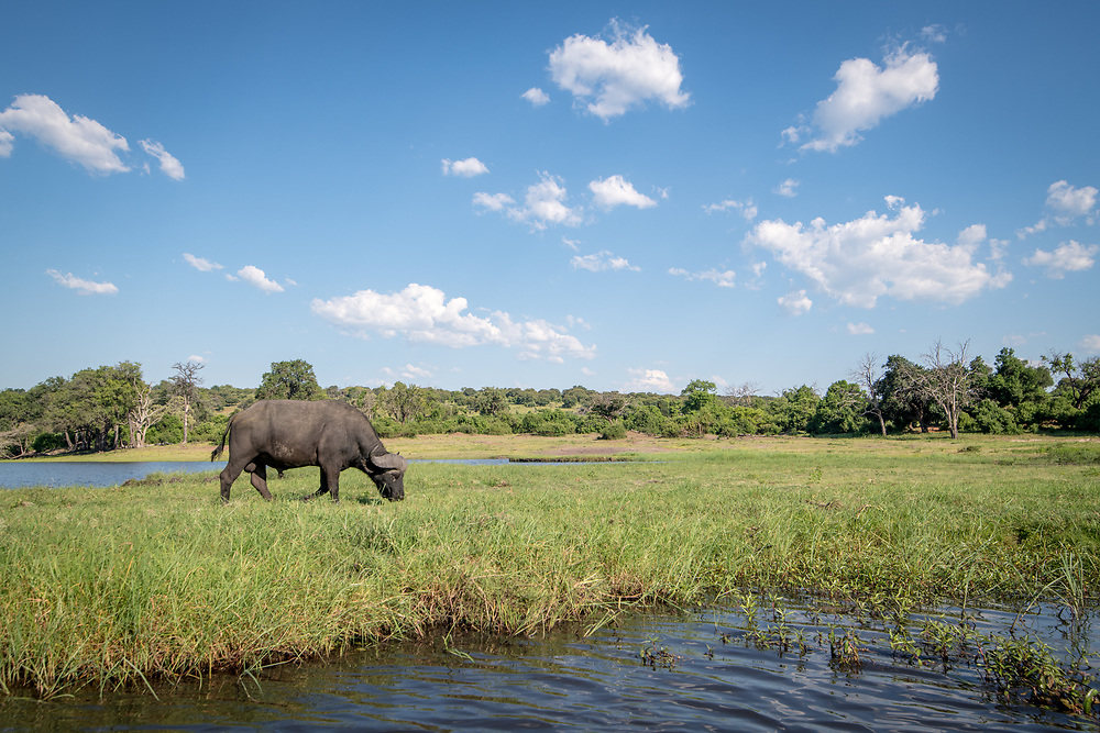 The wild African buffalo in its natural habitat grazing on some grasses along the Chobe River. Chobe National Park - Botswana