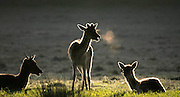 UNITED KINGDOM, London: 13 May 2015 A group of Fallon Deer in Richmond Park, London this morning during sunrise. Although it was a cold start to the day, temperatures are set to get up to 20C. Rick Findler  / Story Picture Agency