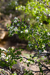 Utah serviceberry (Amelanchier utahensis), Mesa Verde National Park, near Cortez, Colorado.